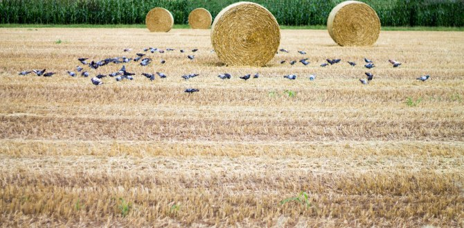 Wheat field and birds